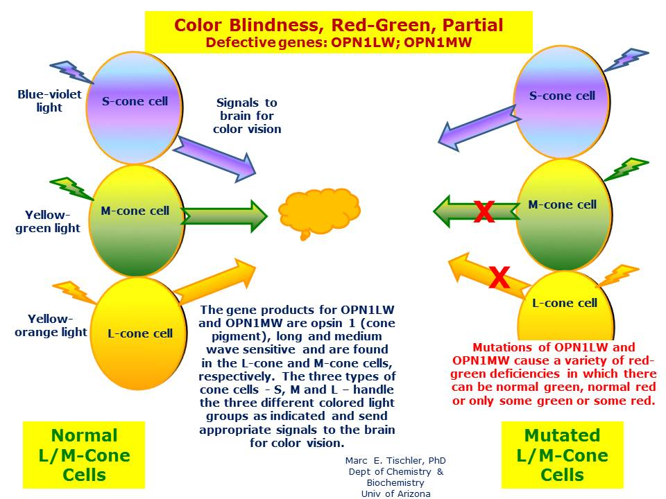 Color Blindness Red Green Partial Hereditary Ocular Diseases