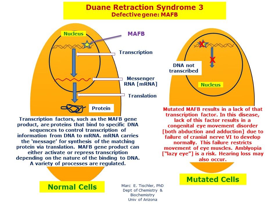 Errors in the MAFB transcription gene may result in a defective gene product that leads to Duane Retraction Syndrome 3.