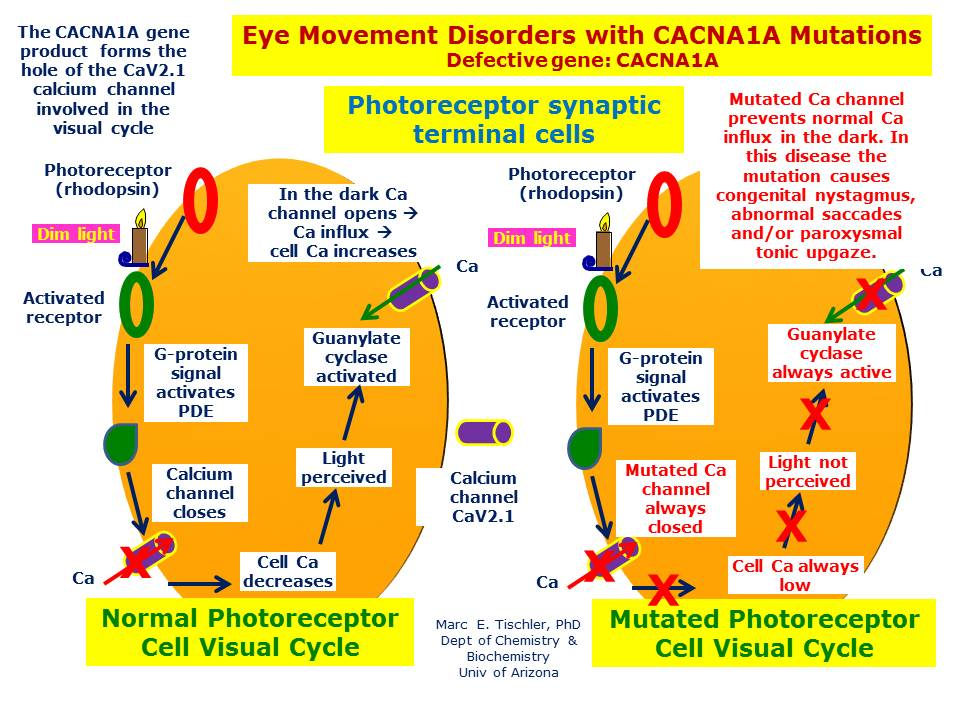 The mutated CACNA1A gene produt blocks normal Ca influx in darkness which interferes with visual fixation and results in a variety of abnormal eye movements.