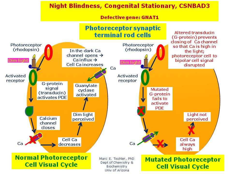 night blindness results from abnormalities in the Start studying chapter 11 special senses: eyes and ears also known as night blindness  is the use of air pressure in the ear canal to test for disorders of.